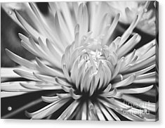 Unfolding Acrylic Print by Artist and Photographer Laura Wrede