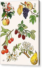 Unidentified Montage Of Fruit Acrylic Print by English School
