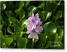 Unmanageable Beauty The Water Hyacinth Acrylic Print by Byron Varvarigos