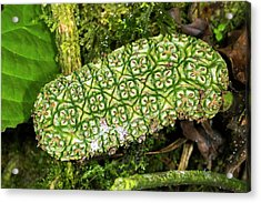 Unripe Anthurium Fruit Acrylic Print by Dr Morley Read
