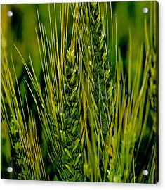 Unripened Wheat In The Palouse Acrylic Print by David Patterson