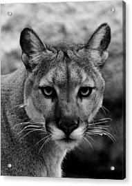 Untamed Acrylic Print by Swank Photography
