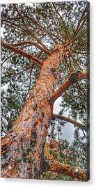 Up A Tree Acrylic Print by Tom Kiebzak