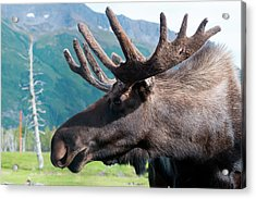 Up Close And Personal With A Moose Acrylic Print by Rick Daley