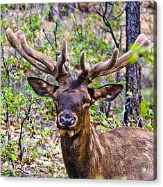 Acrylic Print featuring the photograph Up Close And Personal With An Elk by Bob and Nadine Johnston
