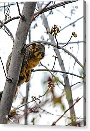 Up The Tree Acrylic Print by Robert Bales