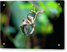 Upland Cotton (gossypium Hirsutum) Acrylic Print by Sam K Tran/science Photo Library