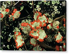Upland Lichen Acrylic Print by Bob Gibbons/science Photo Library