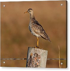 Upland Sandpiper Acrylic Print by Larry Trupp