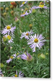 Uplifted Asters Acrylic Print