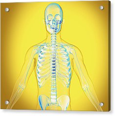 Upper Body Acrylic Print by Claus Lunau/science Photo Library