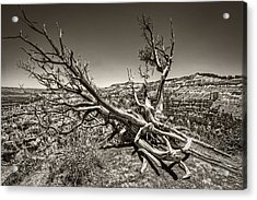 Acrylic Print featuring the photograph Uprooted - Bryce Canyon Sepia by Tammy Wetzel