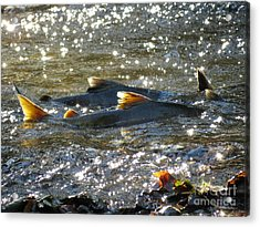 Upstream Acrylic Print by Gayle Swigart