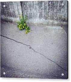 Urban Flora - Yellow Flower And Grey Asphalt Acrylic Print
