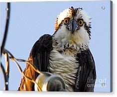Urban Osprey Acrylic Print