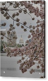 Us Capitol - Cherry Blossoms - Washington Dc - 01135 Acrylic Print by DC Photographer