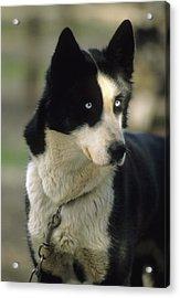 Usa, Alaska, Sled Dog, Dog Sledding Acrylic Print
