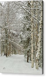 Usa, Alaska Snow-covered Birch Acrylic Print