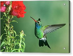 Usa, Arizona Broad-billed Hummingbird Acrylic Print by Jaynes Gallery