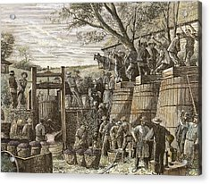 Usa. California. 19th Century. Chinese Workers Treading Grapes. Engraving Acrylic Print by Bridgeman Images