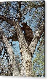 Usa, California, Black Bear In Oak Acrylic Print