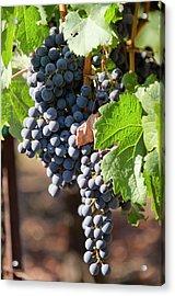 Usa, California, Napa Valley Wine Acrylic Print by Cindy Miller Hopkins