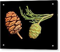 Usa, California, Sequoia National Park Acrylic Print