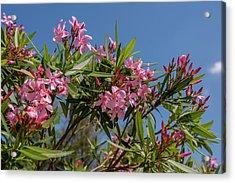 Usa, Florida, New Smyrna Beach, Oleander Acrylic Print by Lisa S. Engelbrecht