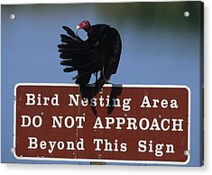 Usa, Florida Turkey Vulture Preens Acrylic Print by Jaynes Gallery