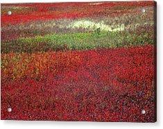 Usa, Maine Blueberry Fields In Autumn Acrylic Print