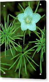 Usa, Michigan, Grass Of Parnassus Acrylic Print by Jaynes Gallery