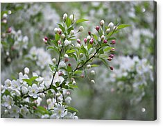 Usa, Ohio Cherry Blossom Branch Acrylic Print by Jaynes Gallery