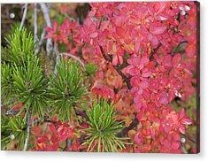 Usa, Oregon Close-up Of Huckleberry Acrylic Print