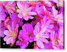 Usa, Oregon Columbian Lewisia Flowers Acrylic Print by Jaynes Gallery