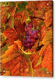 Usa, Oregon, Willamette Valley, Pinot Acrylic Print by Jaynes Gallery