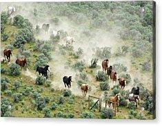 Usa, Washington, Malaga, Running Horses Acrylic Print