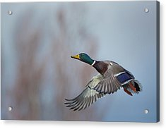 Usa Washington State Male Mallard (anas Acrylic Print