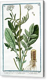 Valeriana Hortensis Acrylic Print by Rare Book Division/new York Public Library