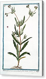 Valerianella Arvensis Acrylic Print by Rare Book Division/new York Public Library