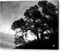 Valley Oak Acrylic Print by Jennifer Muller