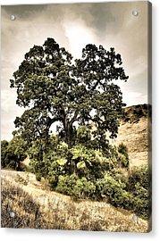 Valley Oak Acrylic Print