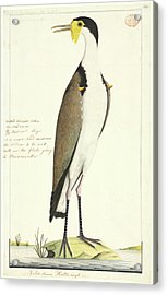 Vanellus Miles Acrylic Print by Natural History Museum, London