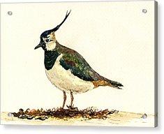 Vanellus Vanellus Acrylic Print