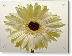Vanilla Bean Zinnia Acrylic Print by Sherry Allen