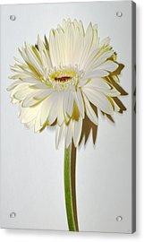 Vanilla Sky Zinnia Acrylic Print by Sherry Allen