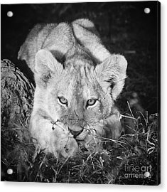 Vanishing Species 2 Acrylic Print by Chris Scroggins