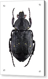 Variable Chafer Acrylic Print by F. Martinez Clavel