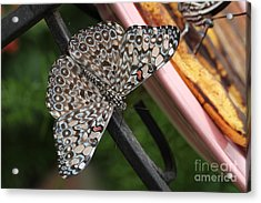 Acrylic Print featuring the photograph Variable Craker Butterfly #2 by Judy Whitton