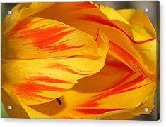 Variegated Tulip 2 Acrylic Print