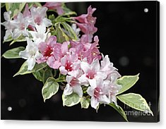 Variegated Weigela Acrylic Print by Denise Pohl